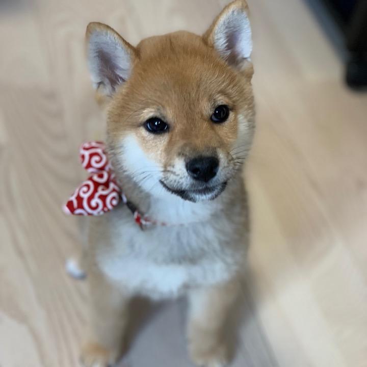 柴犬わさびの画像