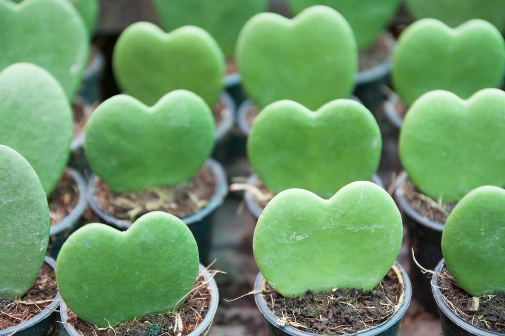 ハート形の植物の画像