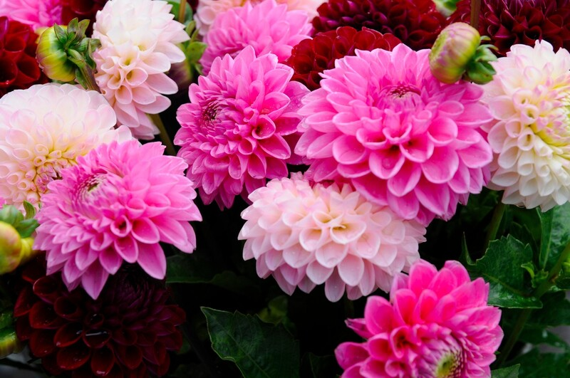 ダリアってどんな花? ・花の色や形、大きさはさまざま・ダリアを育ててみよう! ・日々のちょっとしたお世話が大切・ダリアの冬越し・増やし方は3種類・花が咲いた