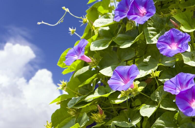 育て方で変わる朝顔の花をたくさん咲かせる方法limia リミア