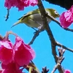 春 桜 メジロ かなり前の写真ですが。。(笑) 桜🌸とメ…(1枚目)