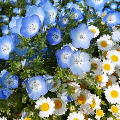花言葉/春の花/ネモフィラ 大好きなお花❣️ ネモフィラ♬ 何年か前…(1枚目)