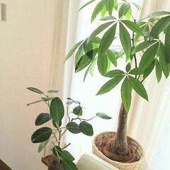 ベンガレンシス/パキラ/観葉植物のある暮らし/グリーン/観葉植物/あけおめ/... 寒い冬でも枯れることなく成長してくれるグ…