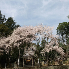 垂れ桜 垂れ桜🎵  加太の垂れ桜行ってきた 結構…(1枚目)