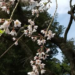 垂れ桜 垂れ桜🎵  加太の垂れ桜行ってきた 結構…(2枚目)