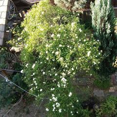 ガーデン 庭を2Fから撮影♪ ガーデン中央のバラが…(1枚目)