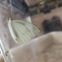 昆虫観察/昆虫観察日記/ペットのいる暮らし/楽しくなってきた/ポケモン/ペットと暮らす/... 無事に30匹以上はモンシロチョウになって…(2枚目)