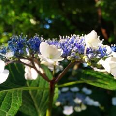 アジサイ/花/自然/Flower/お散歩 紫陽花💠 (1枚目)