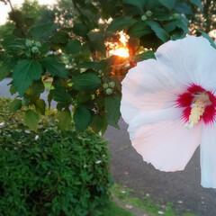 夕焼け/太陽/サンセット/花が好き/花/むくげ/... きれい~😍(1枚目)