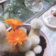 おばあちゃんち/サボテンの花/出窓/サボテン/お花/暮らし おばあちゃんちの応接間の出窓には、いつも…