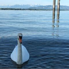 Schwan/白鳥/Österreich/Austria/オーストリア/Hochzeit/... 【オーストリア🇦🇹】  先月、友人の結婚…