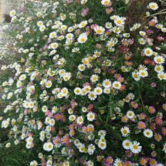 「続々とバラなどが開花。野菜も収穫→合わせ…」(1枚目)