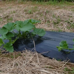 「今日は第2の畑に…。サツマイモもボチボチ…」(3枚目)