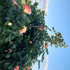「続々とバラなどが開花。野菜も収穫→合わせ…」(2枚目)