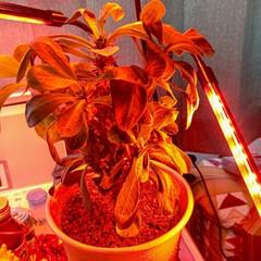 「植物育成ライト  元気のないハナキリンに…」(1枚目)