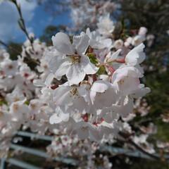 春の一枚 桜