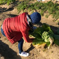 たっぷり野菜/収穫/畑/寒い 今日は早朝から夫の趣味の畑へ 野菜の収穫…(3枚目)