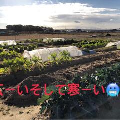 たっぷり野菜/収穫/畑/寒い 今日は早朝から夫の趣味の畑へ 野菜の収穫…