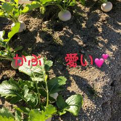 たっぷり野菜/収穫/畑/寒い 今日は早朝から夫の趣味の畑へ 野菜の収穫…(6枚目)