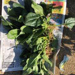 たっぷり野菜/収穫/畑/寒い 今日は早朝から夫の趣味の畑へ 野菜の収穫…(9枚目)