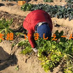 たっぷり野菜/収穫/畑/寒い 今日は早朝から夫の趣味の畑へ 野菜の収穫…(2枚目)