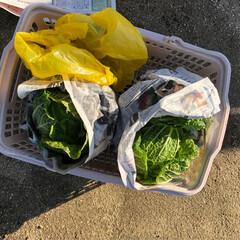 たっぷり野菜/収穫/畑/寒い 今日は早朝から夫の趣味の畑へ 野菜の収穫…(10枚目)