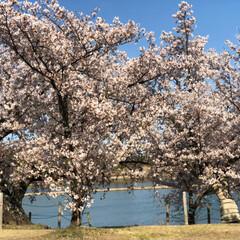 花見/青空/感謝/身体は、元気だよ 眼科の帰りに須原公園に花見に まだ咲いて…