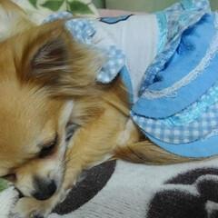 癒される/可愛い寝顔/チワワのいる生活/ロングチワワ/チワワ大好き 遊び疲れて寝ちゃった🐶💤💤 波菜の寝顔可…