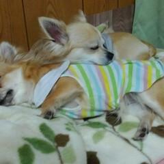 癒される/仲良しチワワ/チワワロング/チワワのいる生活/チワワ倶楽部/チワワ同好会/... 波菜理貴に枕にされてる😁 枕にされても安…