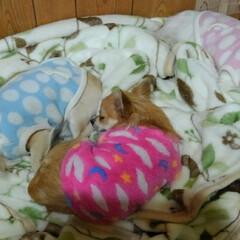 LIMIAペット同好会/ペット/犬 仲良く寝てる🐶🍒🐶🍒🐶 芽衣は一時期5.…