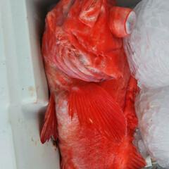 深海魚/絶品/お刺身/アコウダイ/船釣り/パパさんの釣果 今晩は😃🌃  今日久し振りに高知に船釣り…(2枚目)
