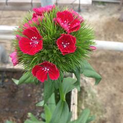 お可愛い/癒し/プレミアボール/花 このお花は、プレミアボールと言います! …(2枚目)