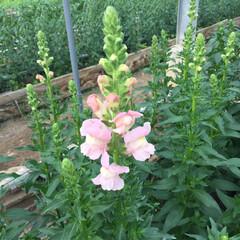 花大好き/草花/金魚草/花 金魚草が咲き始めました! 花が本当に金魚…