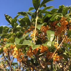 秋/庭/香り/花 清々しい朝です! お庭に出て見ると👀何だ…