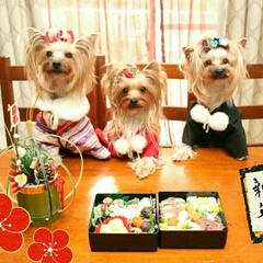 多頭飼い/ヨーキー/ヨークシャーテリア/お節/手作りワンコお節/戌年/... 我が家の3わんです。 手作りワンコお節と…