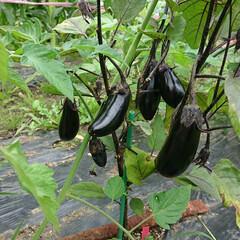 とうもろこし/茄子/家庭菜園/野菜 🍆と🌽
