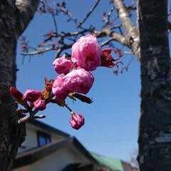日本一遅い開花/花/桜 我が家の🌸やっと咲きました°.*\( ˆ…