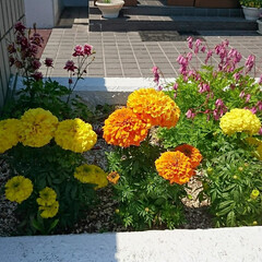 プランター(鉢植え)/花壇/花 大きいボンボン見たいなマリ−ゴ−ルド