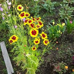 花壇/花 こちらの花 以前より咲いてるのですが名前…