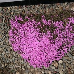 芝桜/花 イマイチなんですがハ−トマ−ク見たいな我…