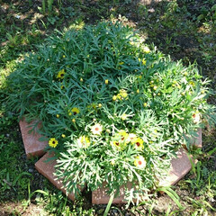 花/花壇 サントリーさんのマックスマム黄色 まだま…