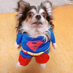 LIMIAペット同好会/ペット/犬/わんこ同好会/うちの子ベストショット お兄ちゃんが買ってくれたスーパーマンのお…(1枚目)
