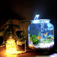 初投稿ではありませんが(・_・;/LEDライト/ニトリ フェイクグリーン/ボトリウム/アクアリウム/金魚/... 金魚が増えたので ダルトンのガラスジャー…
