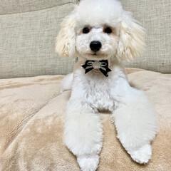 犬のいる暮らし/トイプードル♂/8月8日生まれ=名前=はち 今日はトリミング  疲れたから パパさん…(4枚目)