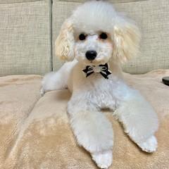 犬のいる暮らし/トイプードル♂/8月8日生まれ=名前=はち 今日はトリミング  疲れたから パパさん…(3枚目)