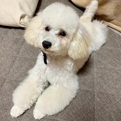 犬のいる暮らし/トイプードル♂/8月8日生まれ=名前=はち 今日はトリミング  疲れたから パパさん…(5枚目)