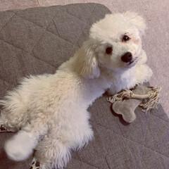 犬のいる暮らし/トイプードル♂/8月8日生まれ=名前=はち ´ω`)ノオハヨォ  まだ(・ω・و  …