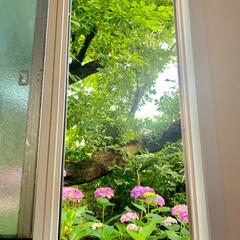 お花は心に潤いを与えてくれる😉/梅雨の時期は紫陽花/春は桜🌸/お隣さんの庭 6月27日 仙台 🌞 梅雨の晴れ間✨ 窓…