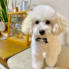 犬のいる暮らし/トイプードル♂/8月8日生まれ=名前=はち 今日はトリミング  疲れたから パパさん…