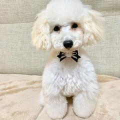 犬のいる暮らし/トイプードル♂/8月8日生まれ=名前=はち 今日はトリミング  疲れたから パパさん…(2枚目)